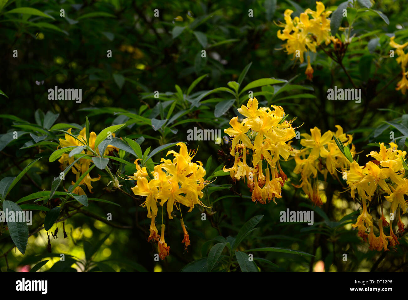 rhododendron luteum yellow azalea pontica rhododendrons shrubs yellow flowers flowering ericaceous tree shrub - Stock Image