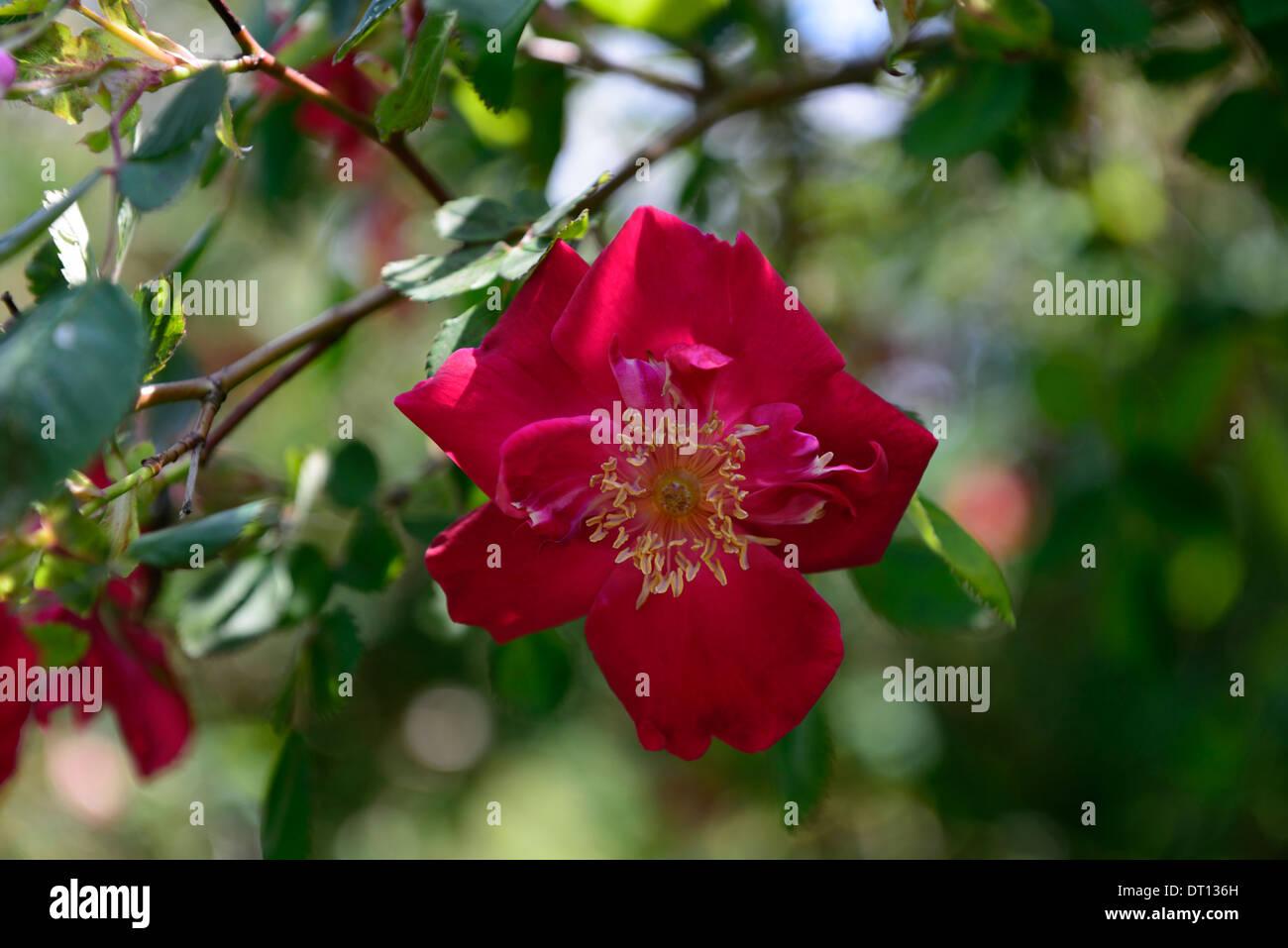 rosa eddie's jewel moyesii hybrid shrub rose roses red flower flowers flowering bloom blooming - Stock Image