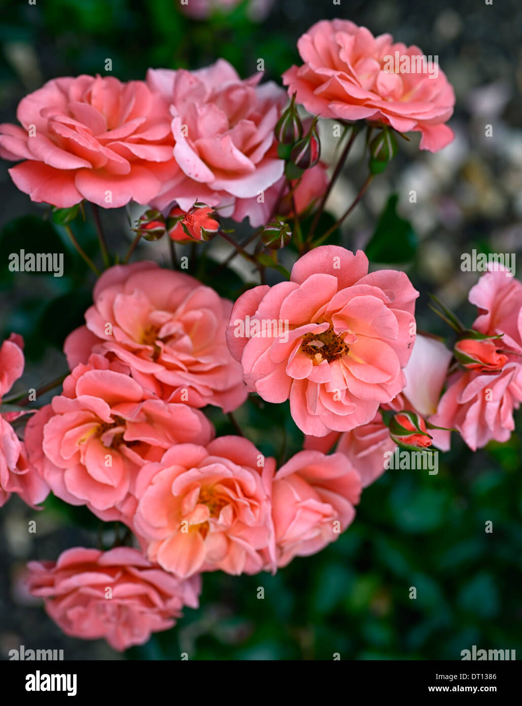 rosa fascination poulmax shrub rose roses pink flower flowering bloom blooming - Stock Image