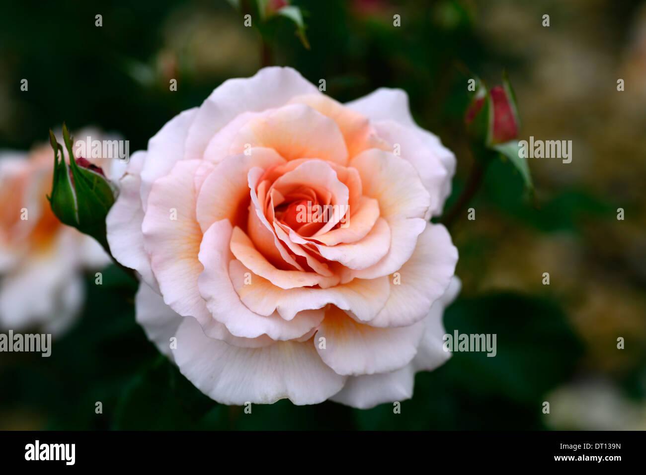 rosa great expectations mackalves rose roses It's Magic floribunda coral pink flowers flower flowering bloom blooming - Stock Image