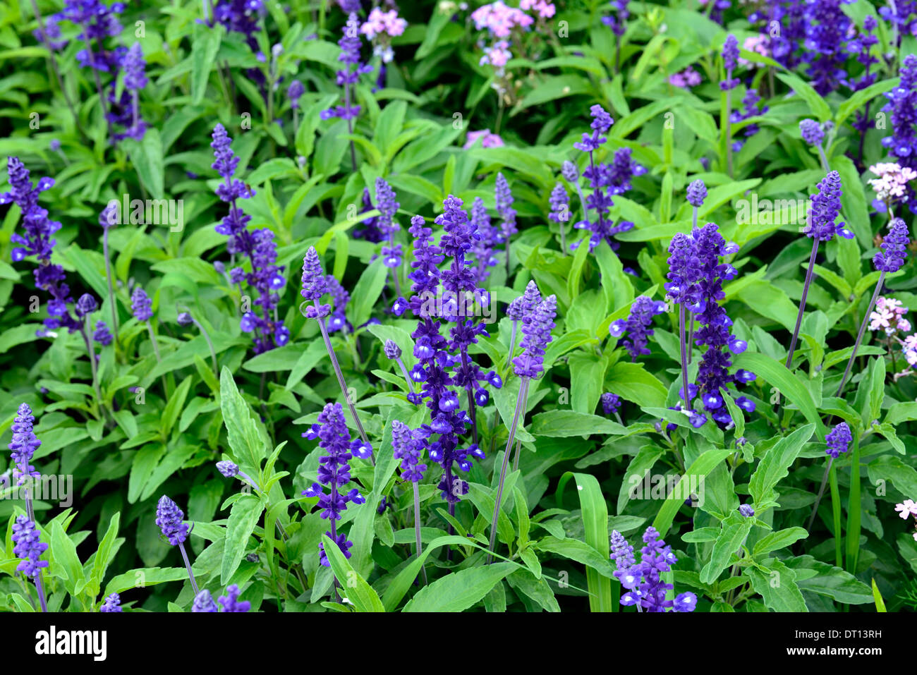 Salvia farinacea plant stock photos salvia farinacea plant stock salvia farinacea victoria purple flowers bloom blossom officinale plant sage sages flower flowering perennial herbaceous mightylinksfo