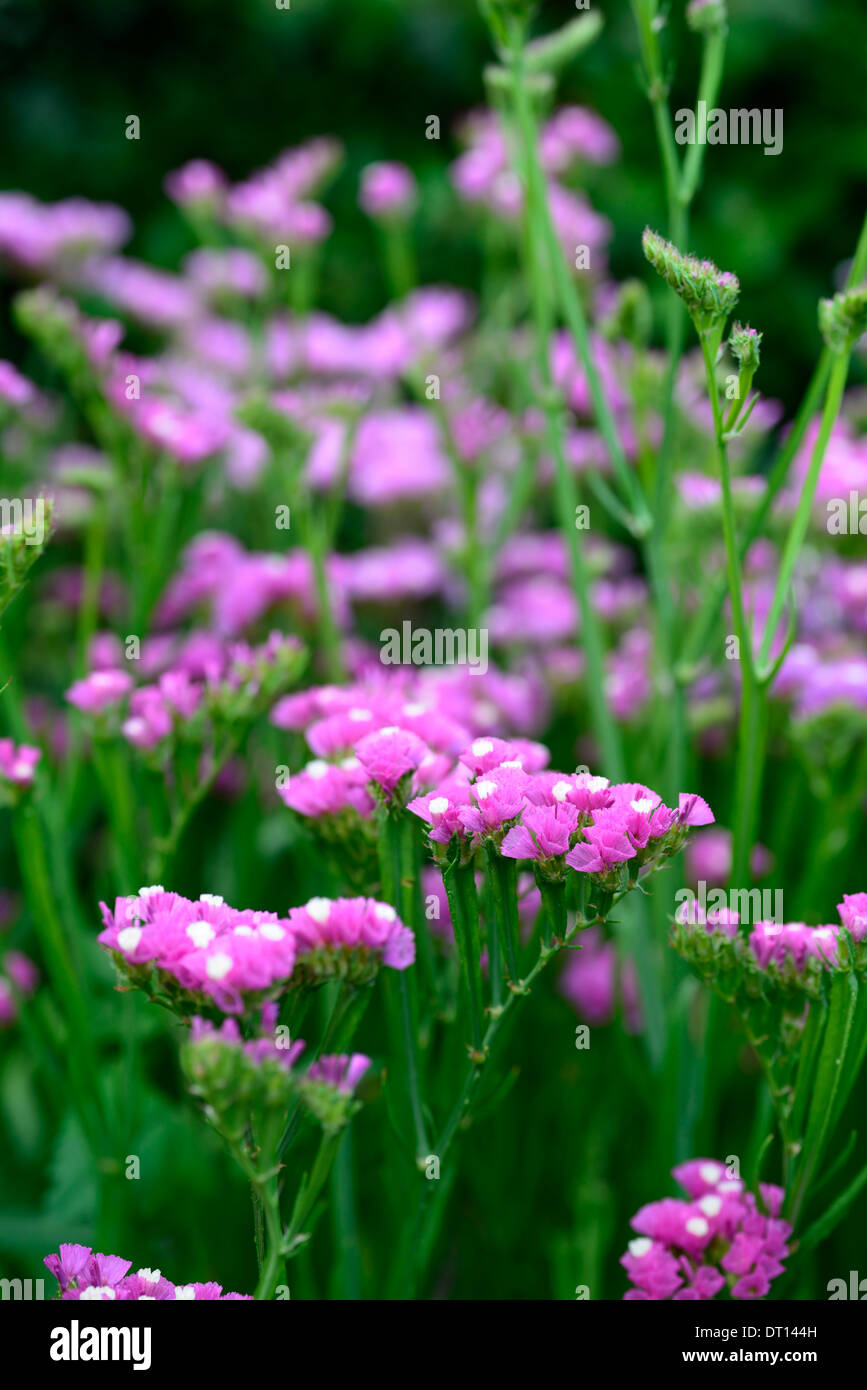 Statice sinuata Sunburst rose Limonium pink flowers bloom blossom annual Sea Lavender Statice Marsh-rosemary distinctive spiky - Stock Image