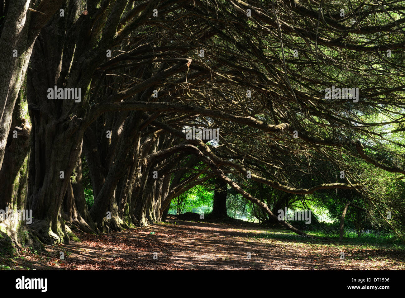 Yew walk Taxus baccata huntington castle clonegal carlow avenue line lined trees spiritual - Stock Image