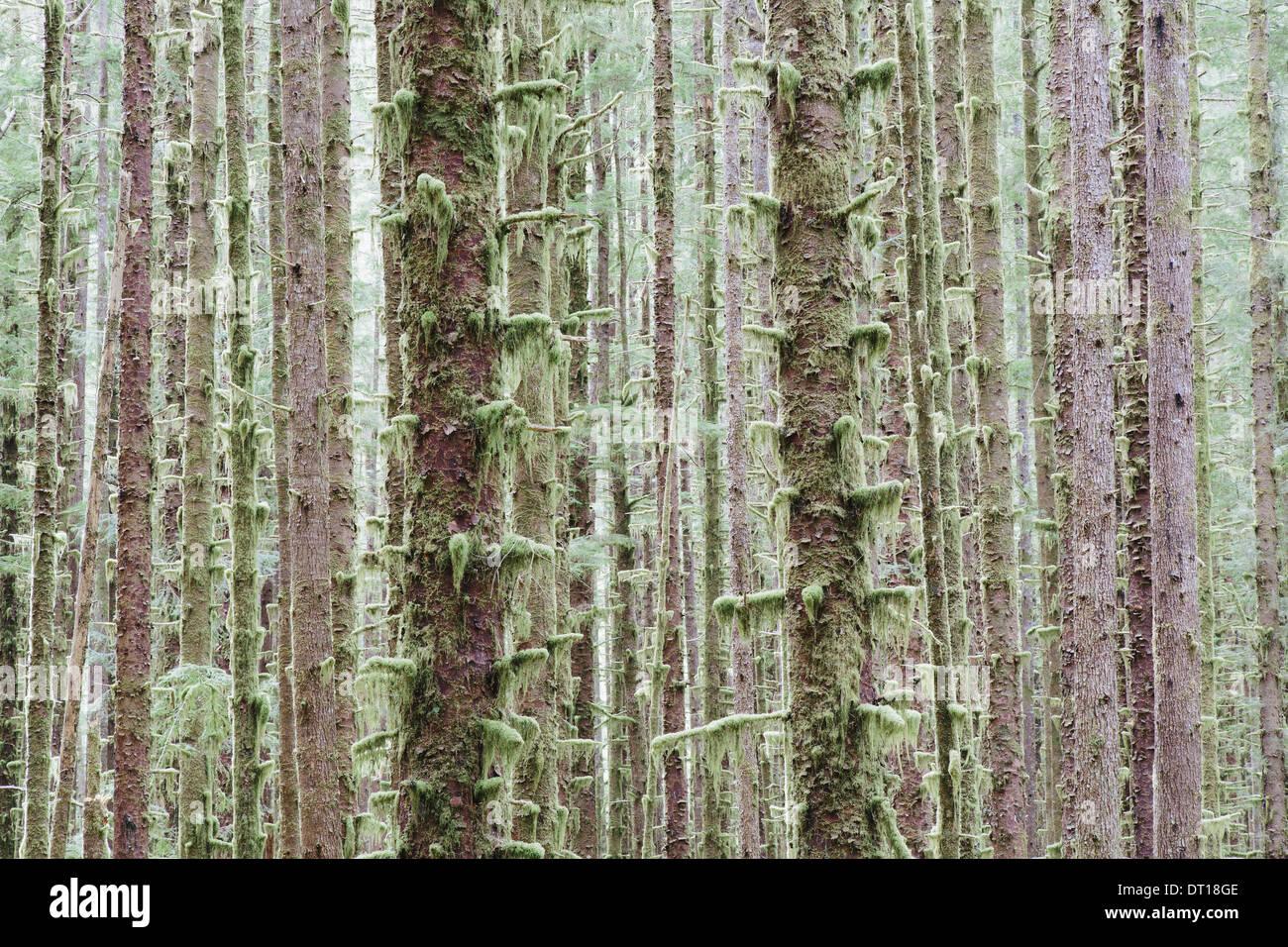 Olympic National Park Washington USA. Sitka Spruce and Western Hemlock trees rainforest - Stock Image
