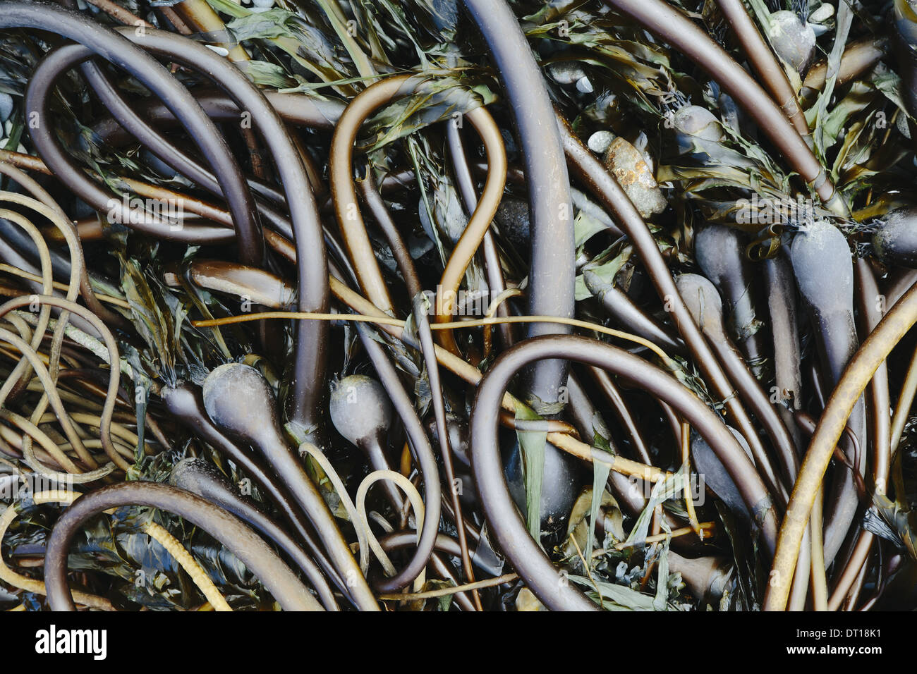 Rialto Beach Olympic National Park Washington USA. Pile of Bull Kelp seaweed washed up on beach - Stock Image