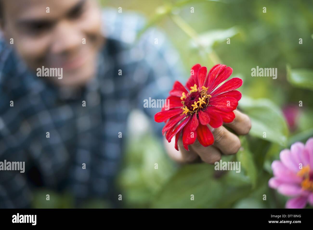 Woodstock New York USA man field of flowers holds red petalled flower - Stock Image