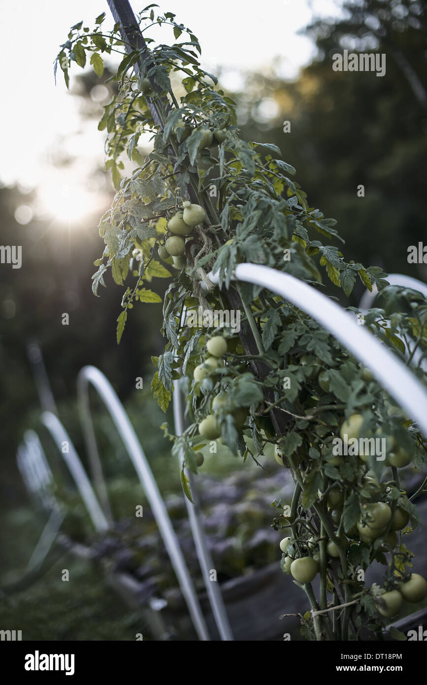 Woodstock New York USA organic vegetable plant tomato vine support - Stock Image
