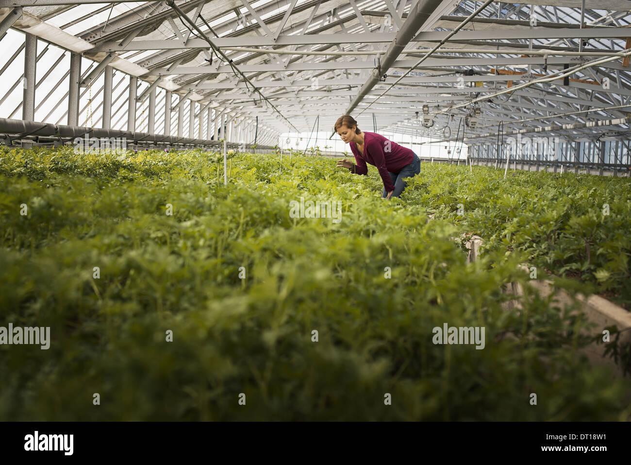 Woodstock New York USA woman working in glasshouse organic plants - Stock Image