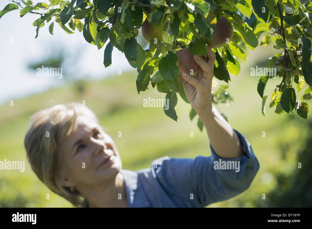 Woodstock New York USA Middle-aged Woman Organic Macintosh Apple Tree - Stock Image