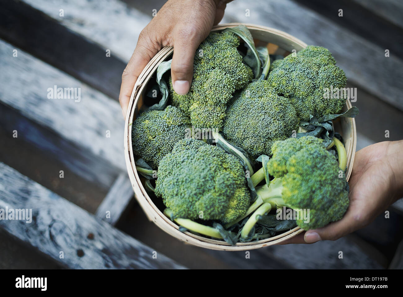 Woodstock New York USA Organic Broccoli just harvested - Stock Image