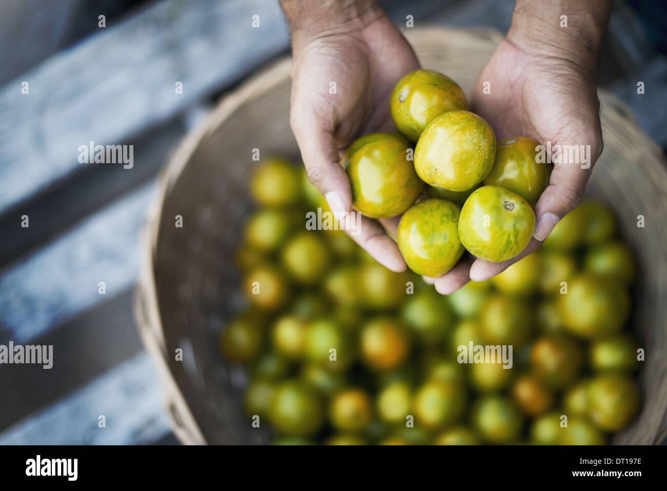 Woodstock New York USA Organic Tomatillo just harvested - Stock Image