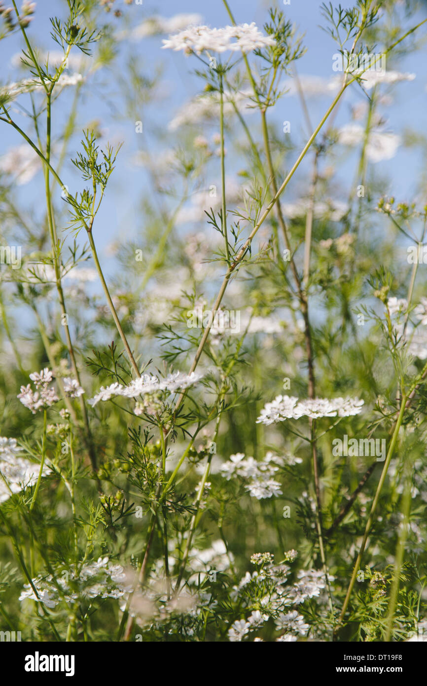 Flowering cilantro or Chinese Parsley coriander - Stock Image
