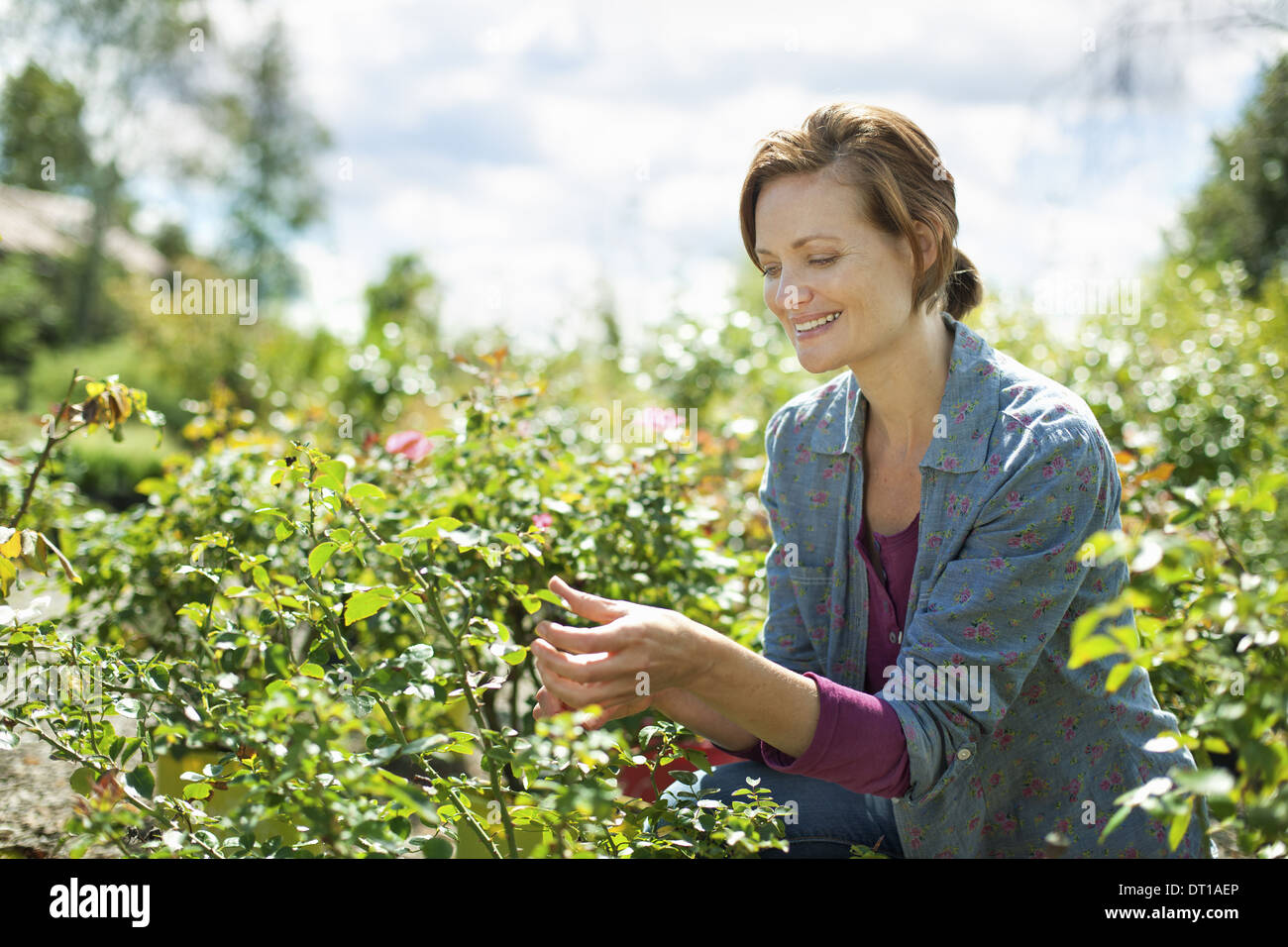Woodstock New York USA woman in blue shirt work organic farm glasshouse - Stock Image