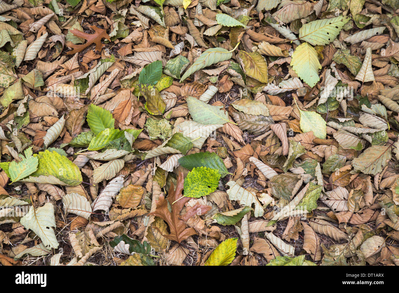 Seattle Washington USA Alder leaves on the ground in fall Discovery Park - Stock Image