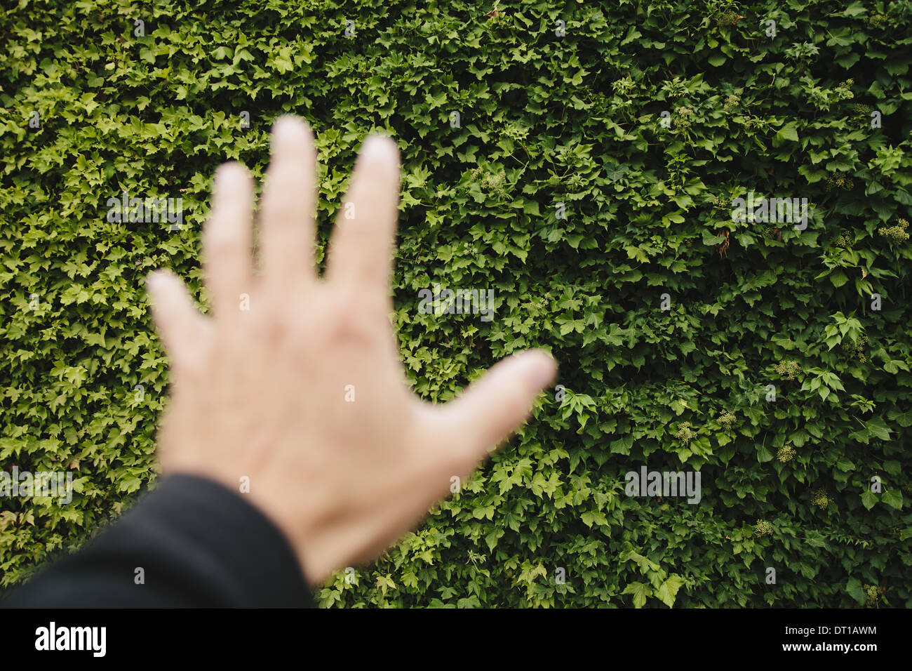 Seattle Washington USA man's hand reaching to wall of green ivy Seattle - Stock Image