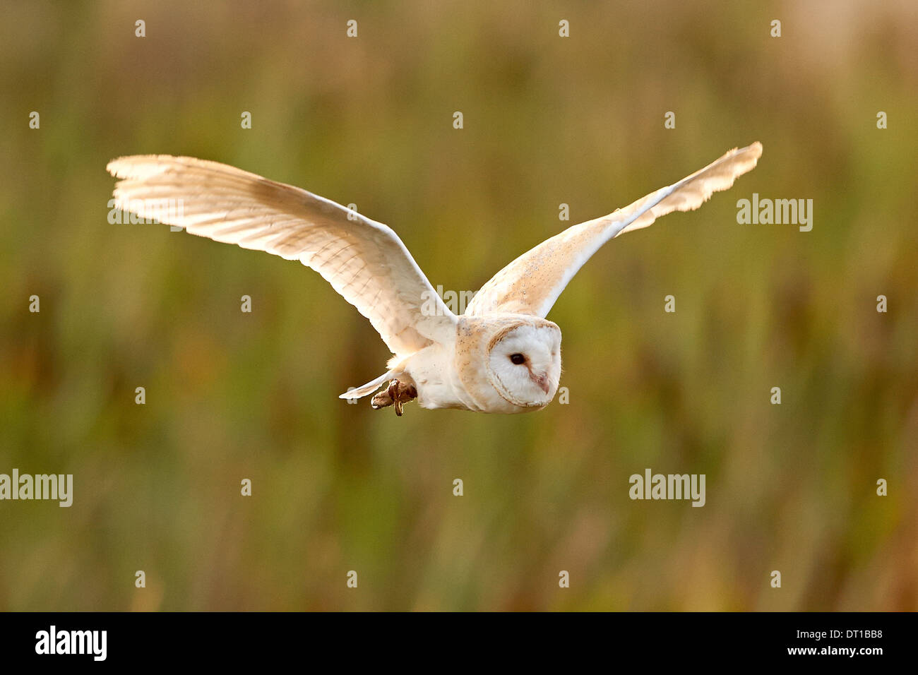 A Barn Owl flying a over fields at sunset - Stock Image