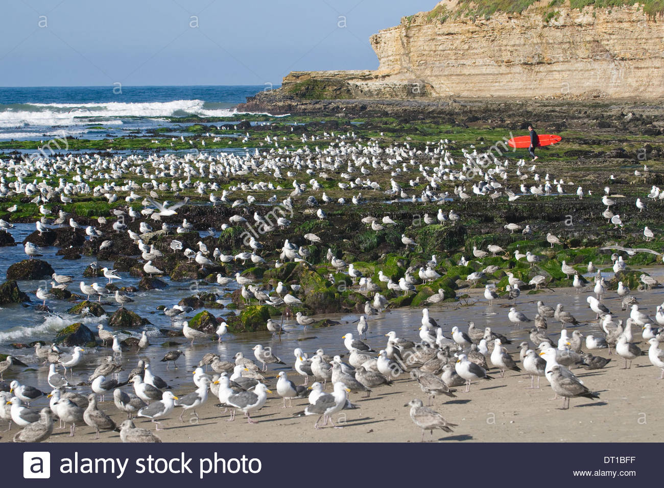 Four Mile Beach Monterey Bay California USA Surfer on beach bird colony of gulls - Stock Image