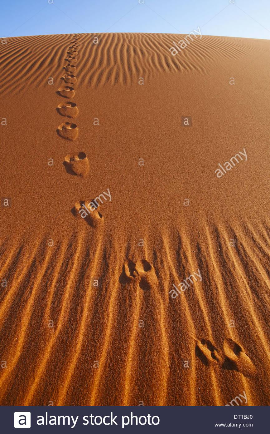 Namib-Naukluft National Park Namibia Vulpes chama Cape fox tracks in Namib-Naukluft - Stock Image