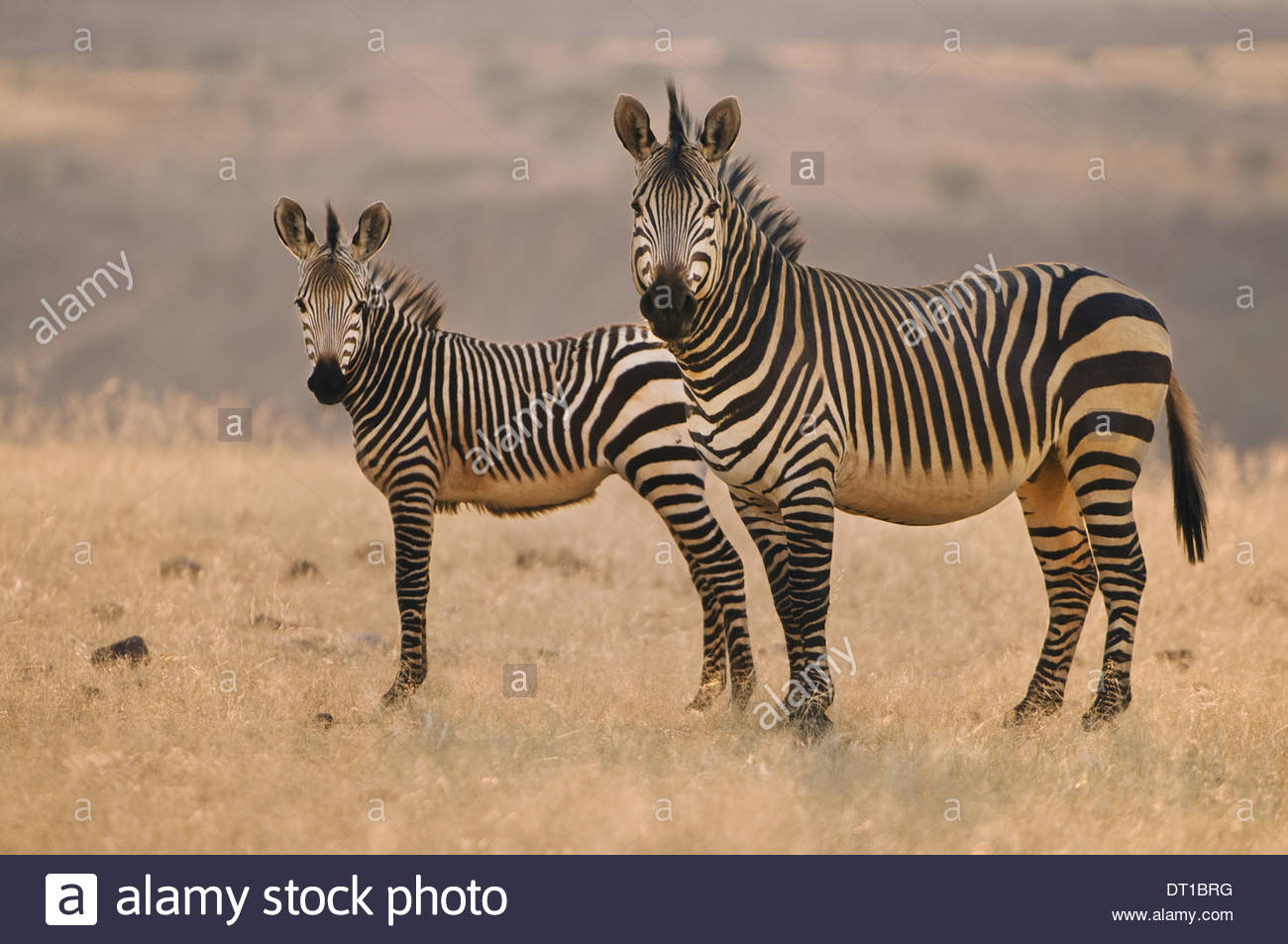 Torra Conservancy Damaraland Namibia Two mountain zebras Equus zebra on plains Namibia Stock Photo