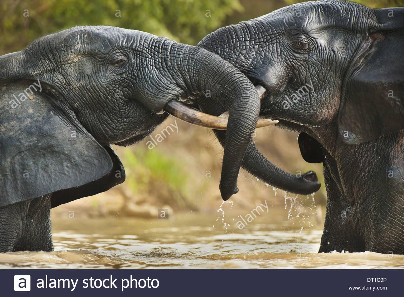Mole National Park Ghana Elephant bulls two adult agressive confrontation - Stock Image