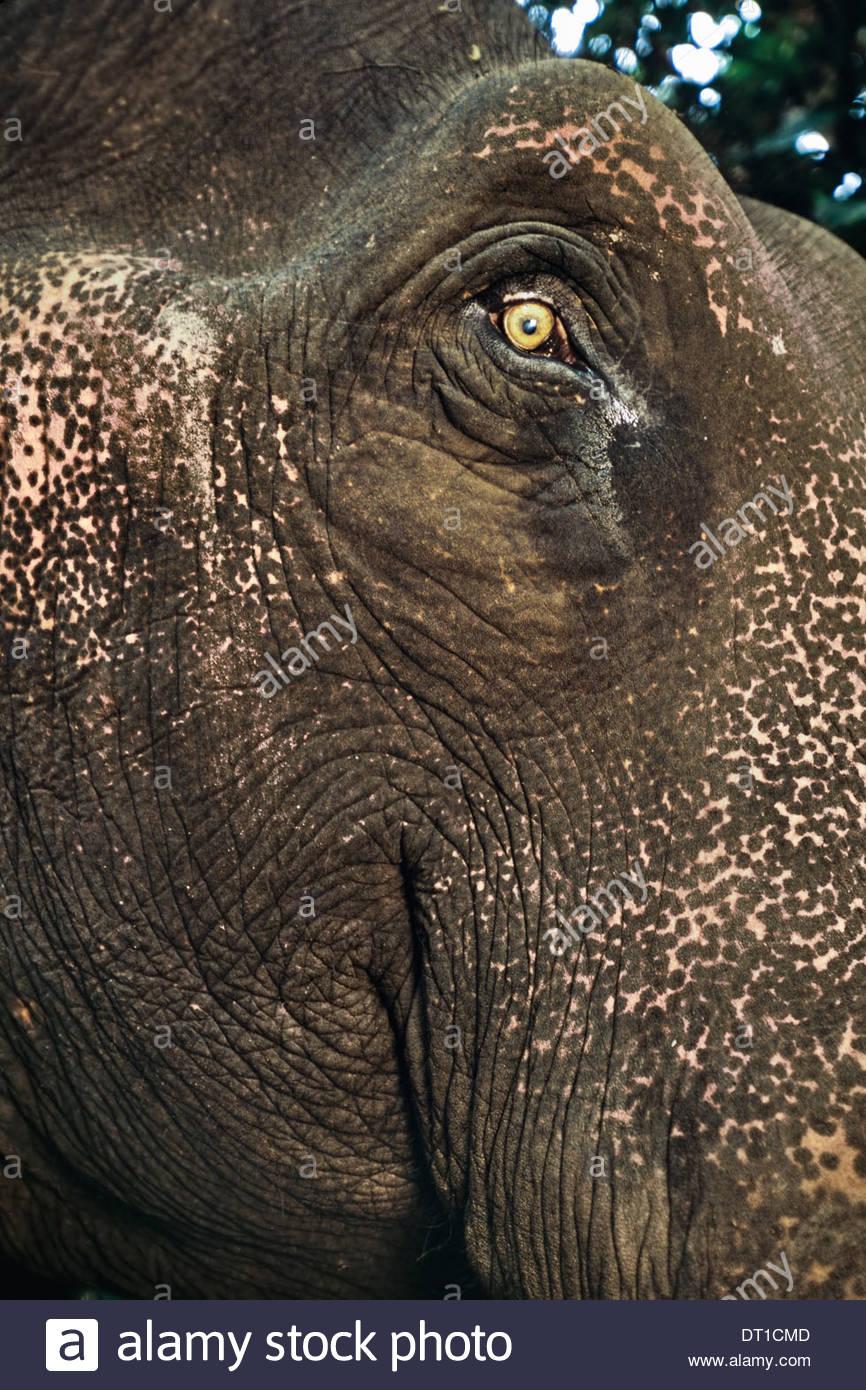 Mudumalai Wildlife Sanctuary Western Ghats India Domestic asiatic elephant face Elephas maximus - Stock Image