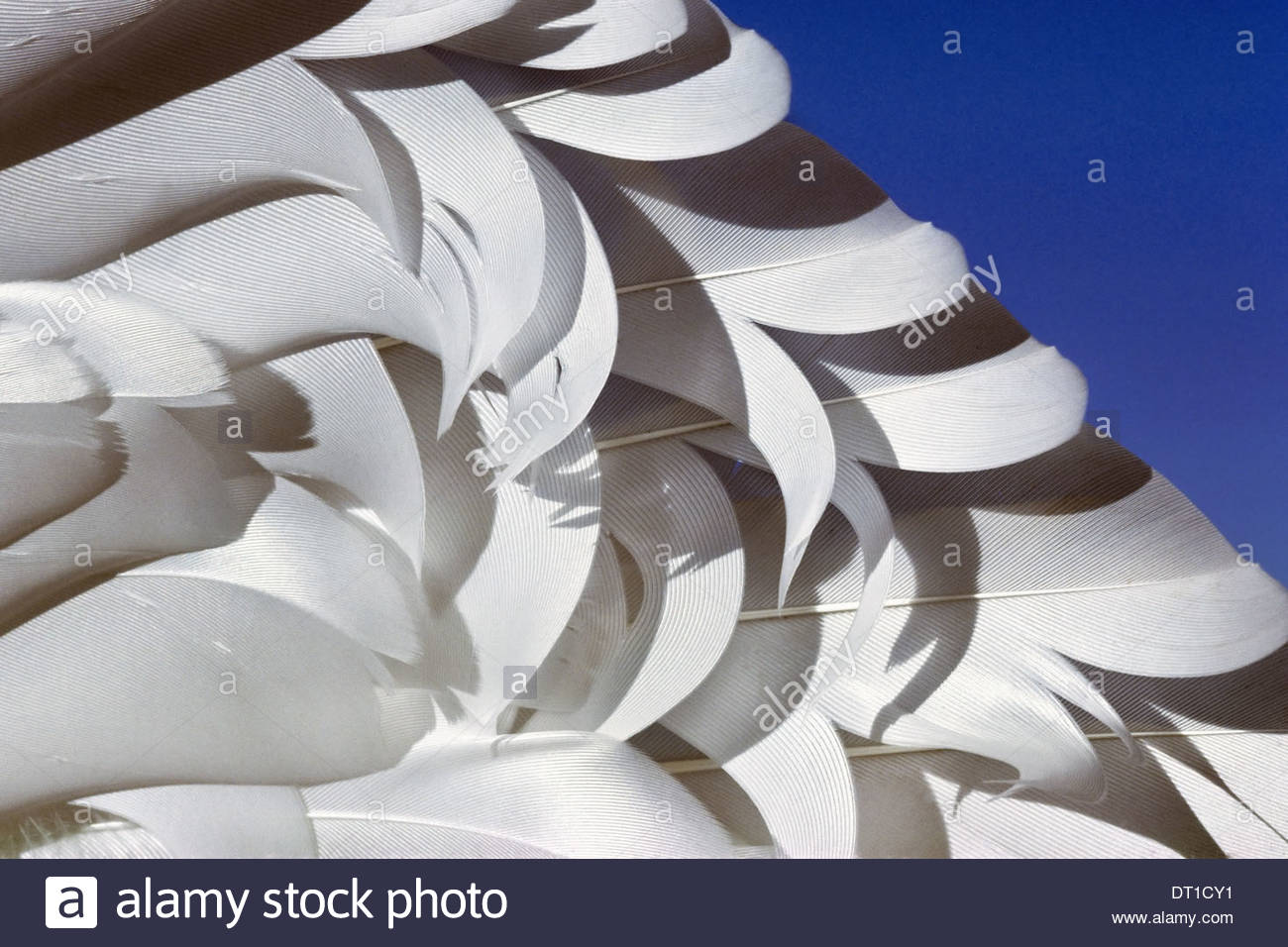 California USA Snow goose wing feathers Chen caerulescens - Stock Image