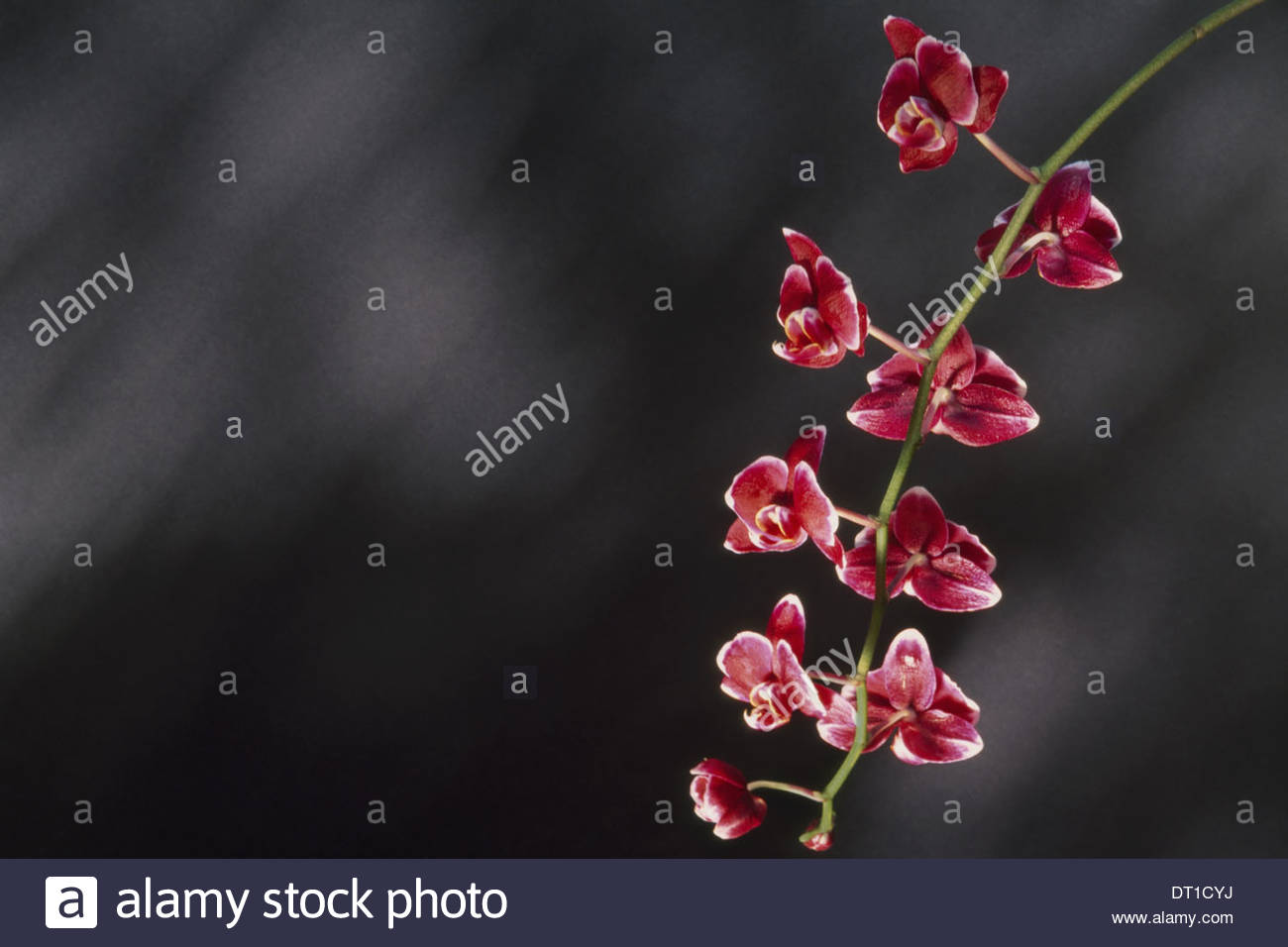 Orchid Phalaenopsis hybrid with small pink flowers - Stock Image