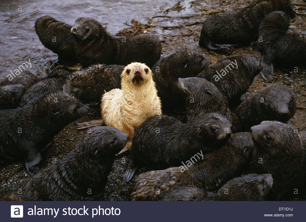 South Georgia Island Antarctic fur seal pups with one blond morph - Stock Image