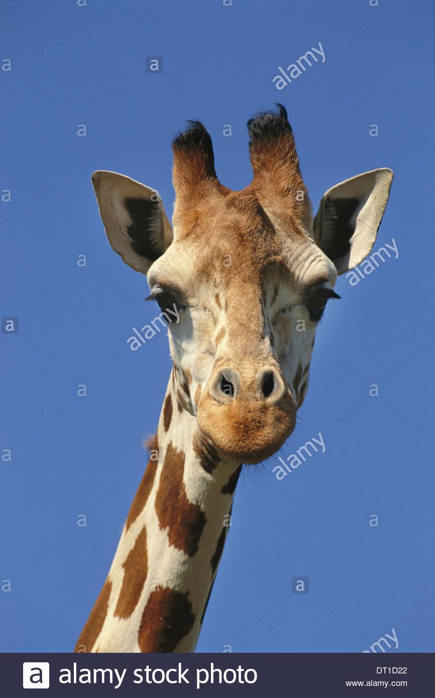 Kenya Reticulated giraffe Kenya Eyes and eyelashes - Stock Image