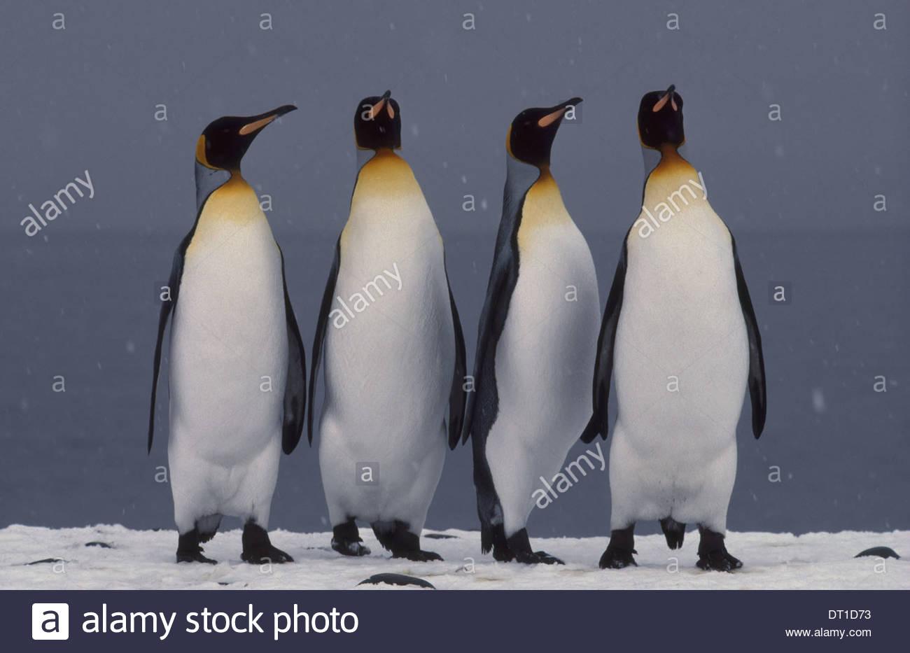 South Georgia Island King penguins courting Aptenodytes patagonicus - Stock Image