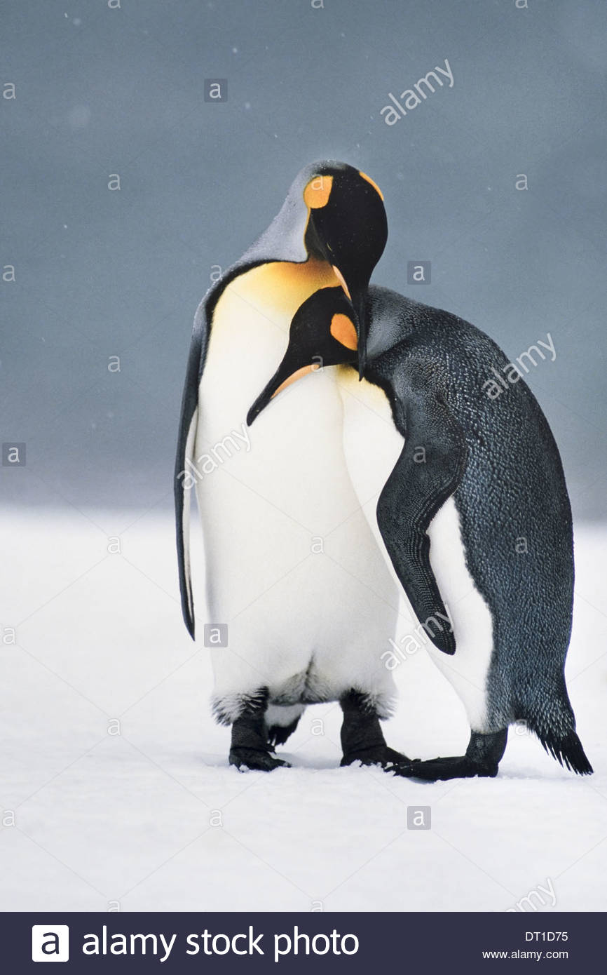 South Georgia Island King penguins courting Aptenodytes patagonicus - Stock Image