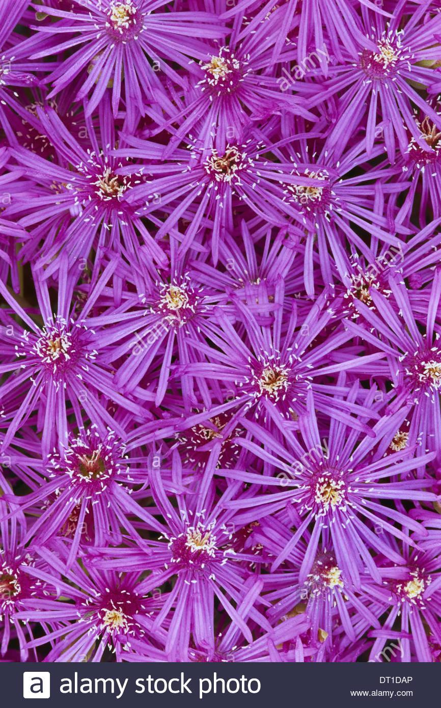 Namaqualand National Park South Africa Pink mesem flowers Mesembryanthemum sp Namaqualand - Stock Image