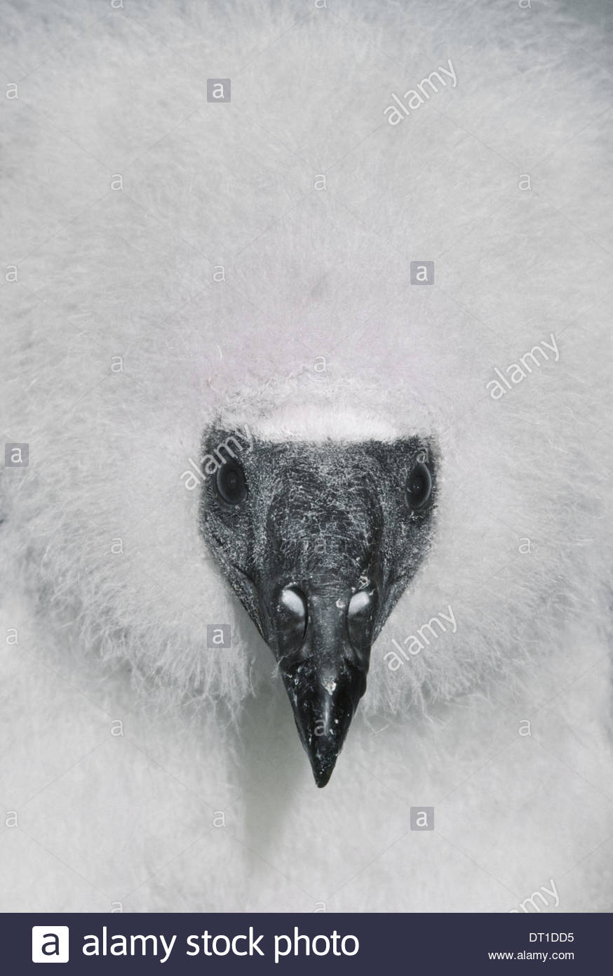 California USA Turkey vulture chick Cathartes aura California - Stock Image