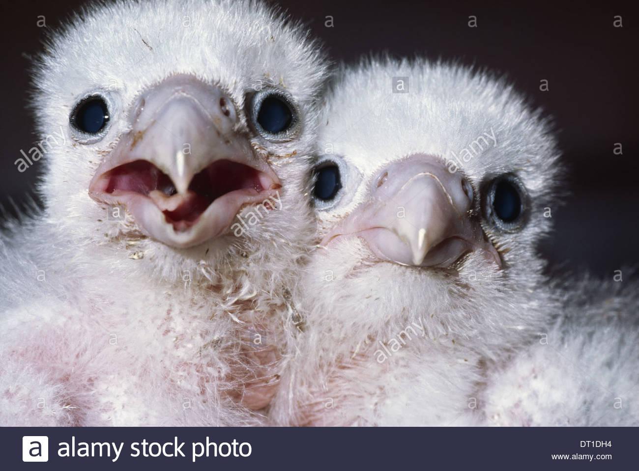 California USA Peregrine falcon chicks Falco peregrinus USA Stock Photo