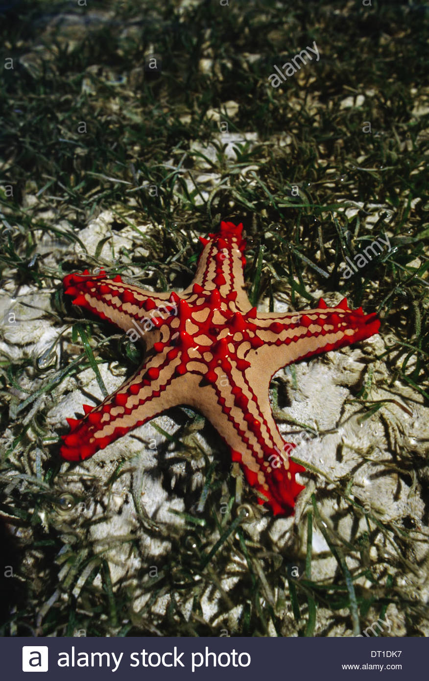 Western Madagascar Seastar Protorcaster lincki in seagrass - Stock Image