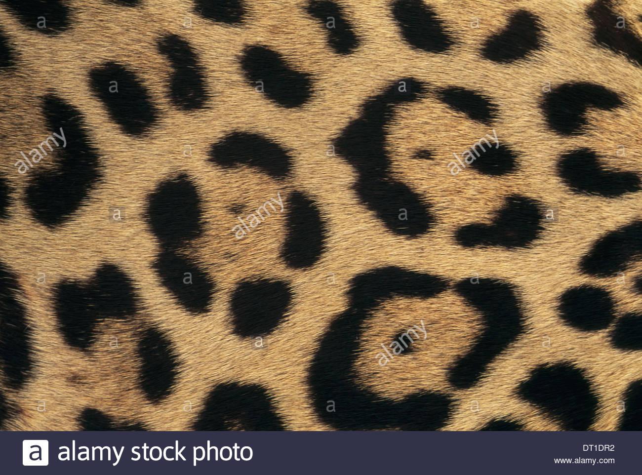 Belize Jaguar skin pattern Pantheronca Belize - Stock Image