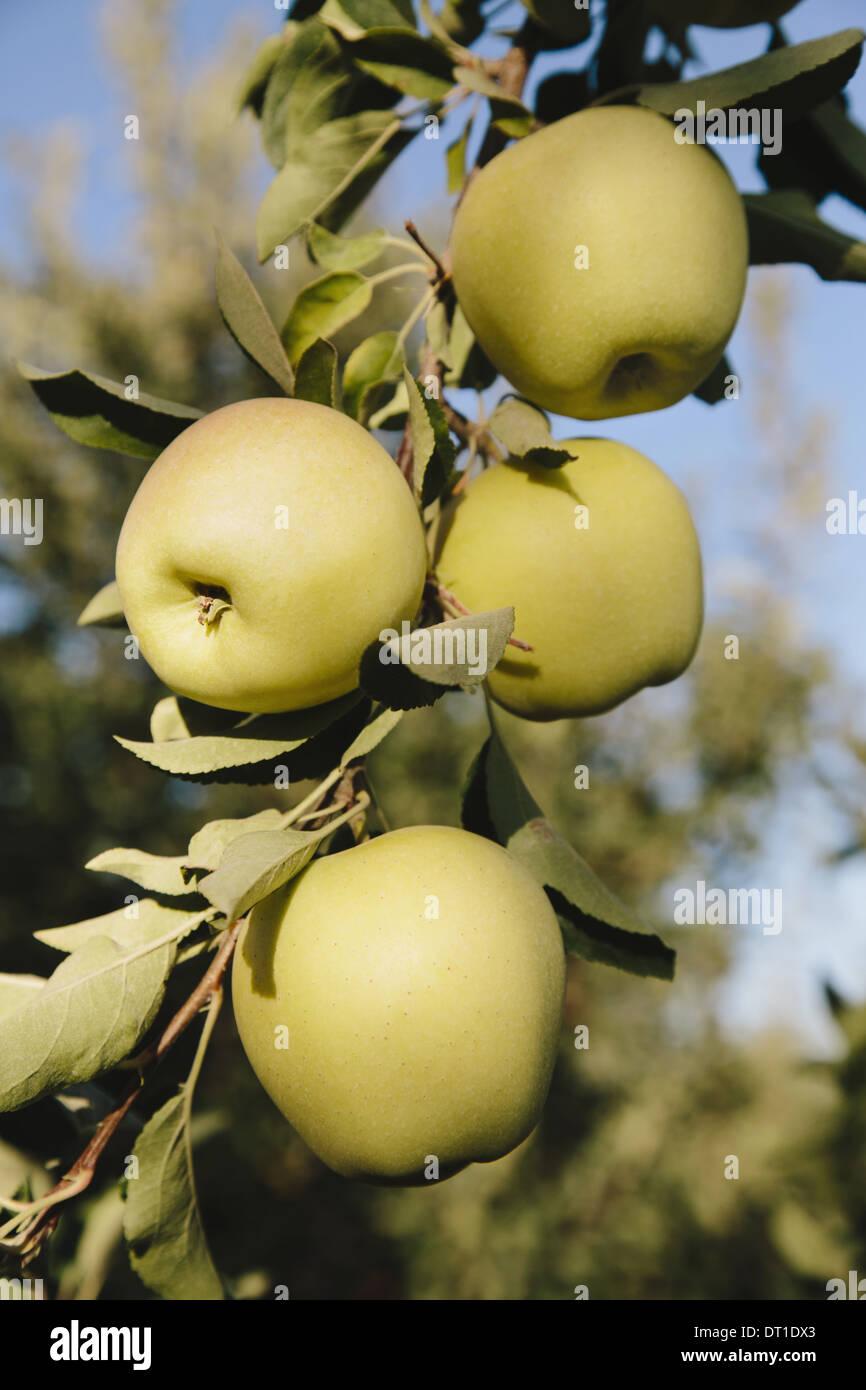 Washington State USA Golden Delicious apples on tree - Stock Image