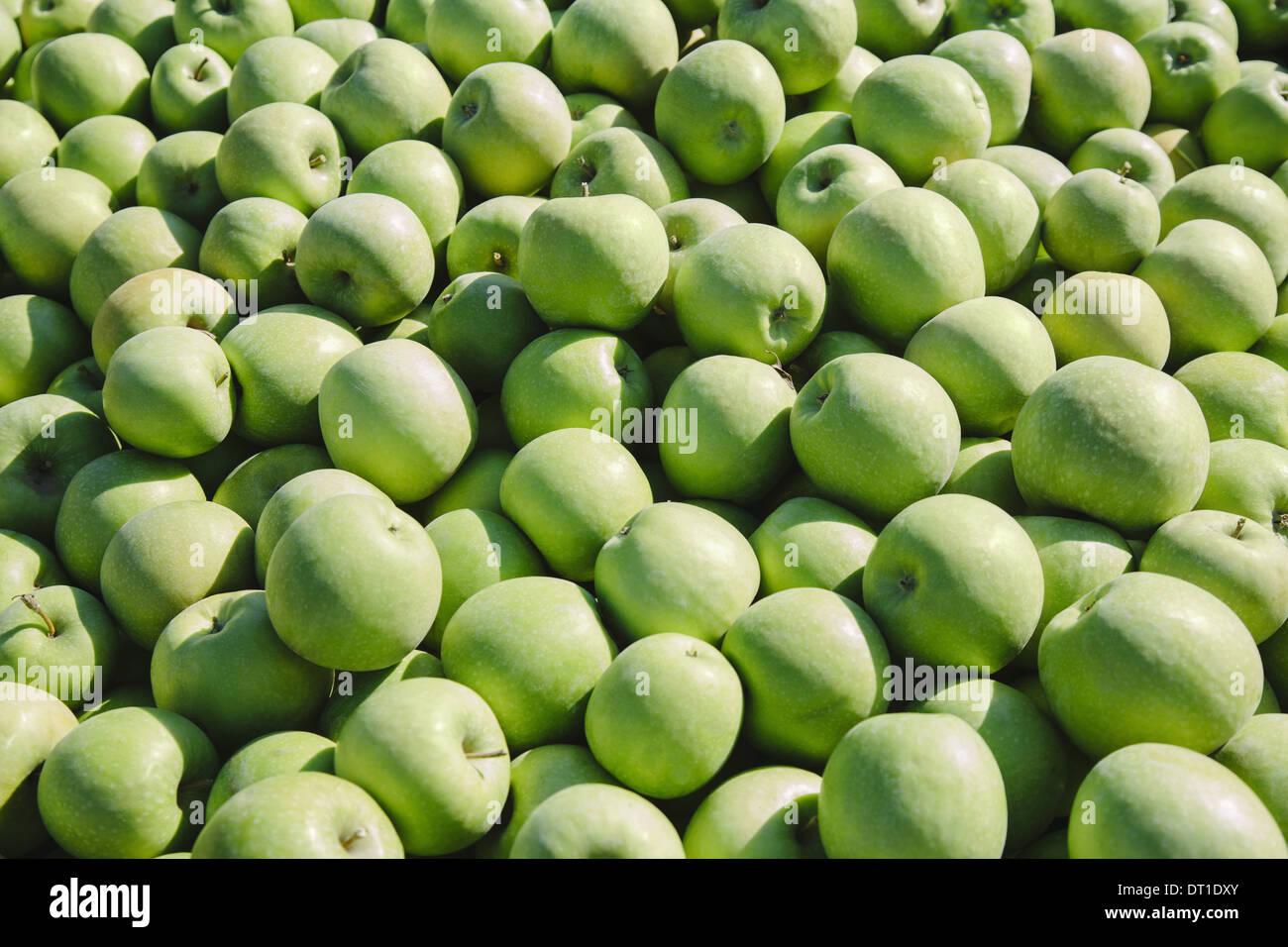 Washington State USA Granny Smith apples - Stock Image