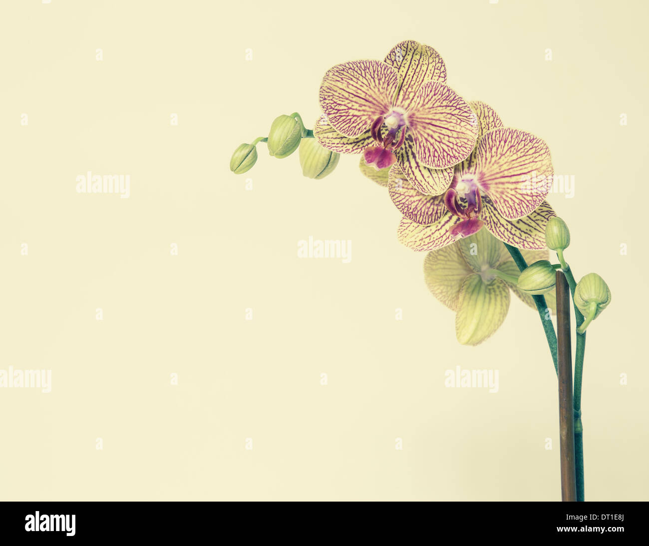 Blooming Phalaenopsis orchid yellow pink petals - Stock Image