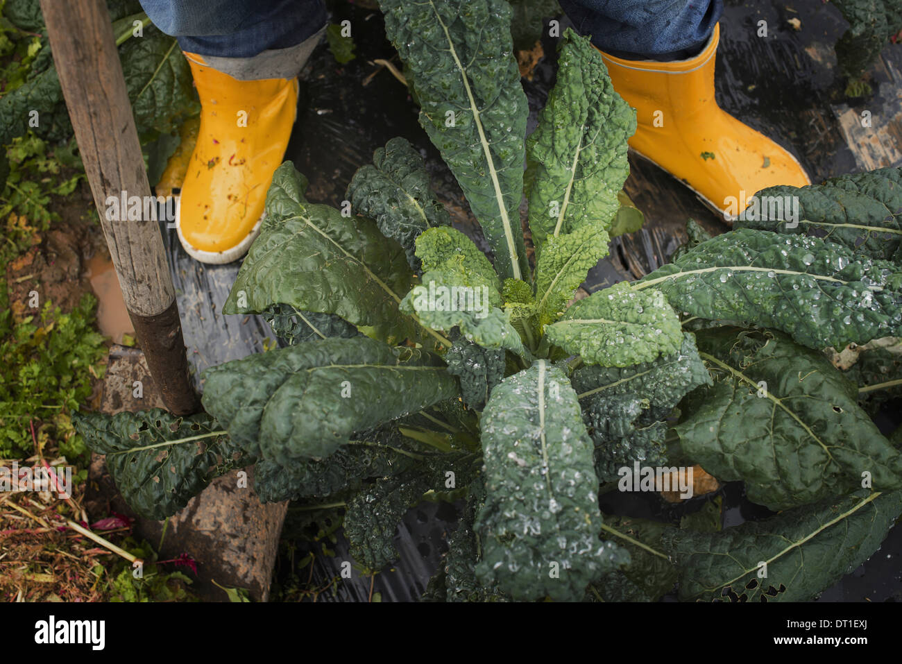 Organic Farmer at Work A person's feet in yellow work boots - Stock Image