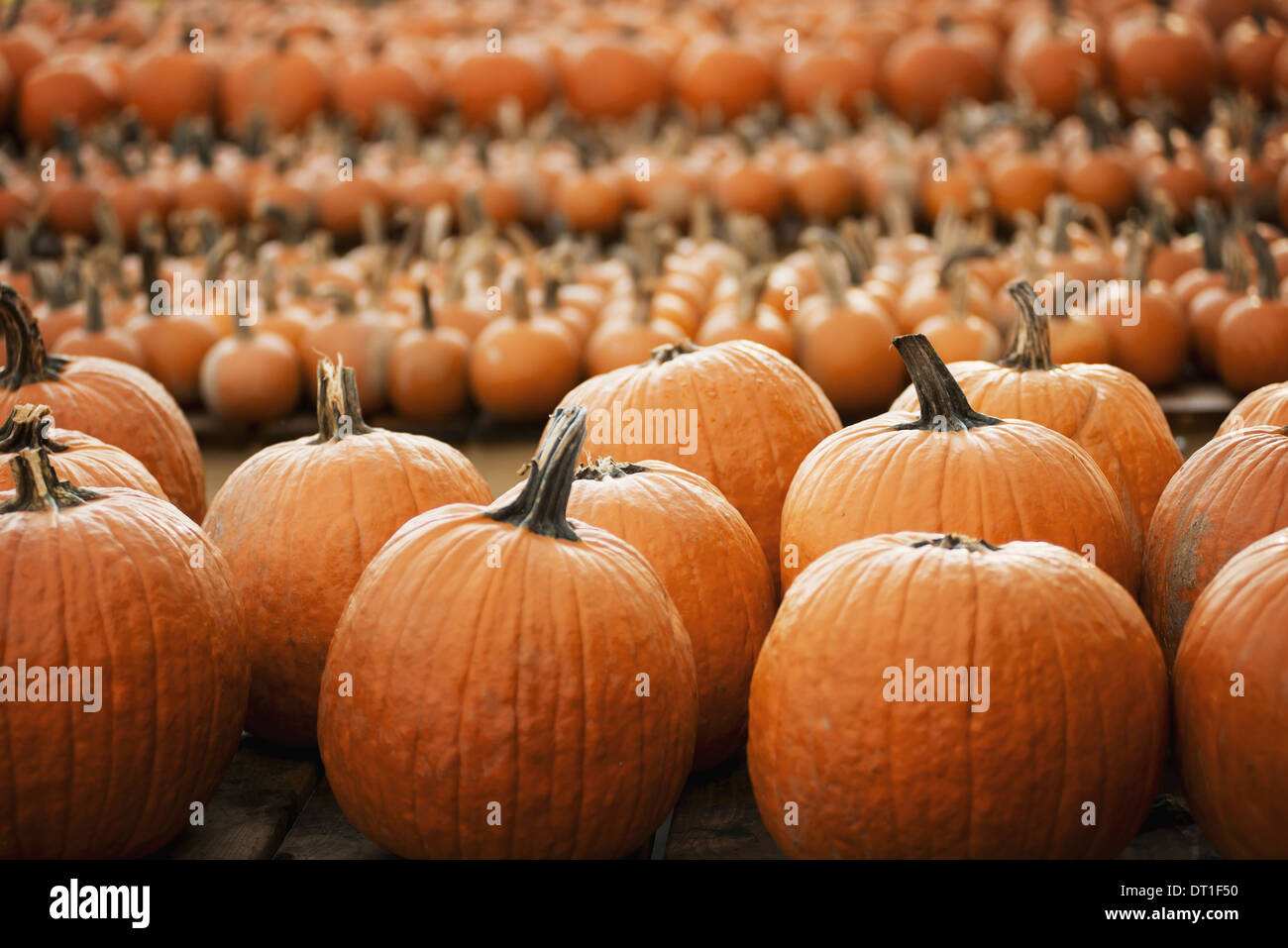 Pumpkins arranged in rows to be hardened off and dried Organic farm - Stock Image