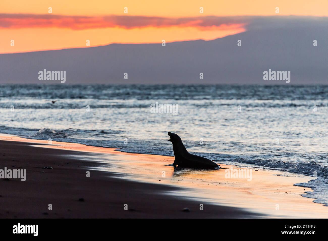 Galapagos sea lion ( Zalophus wollebaeki) on beach at sunset on Rabida Island, Galapagos Islands, UNESCO Site, Ecuador - Stock Image