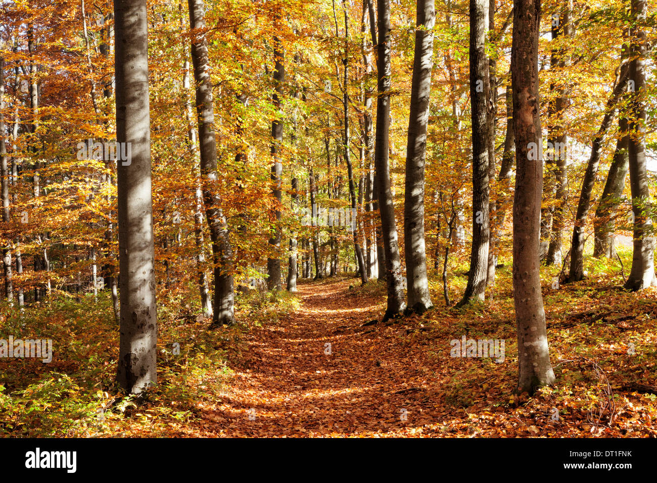 Path in a forest in autumn, Swabian Alb, Baden Wurttemberg, Germany, Europe - Stock Image
