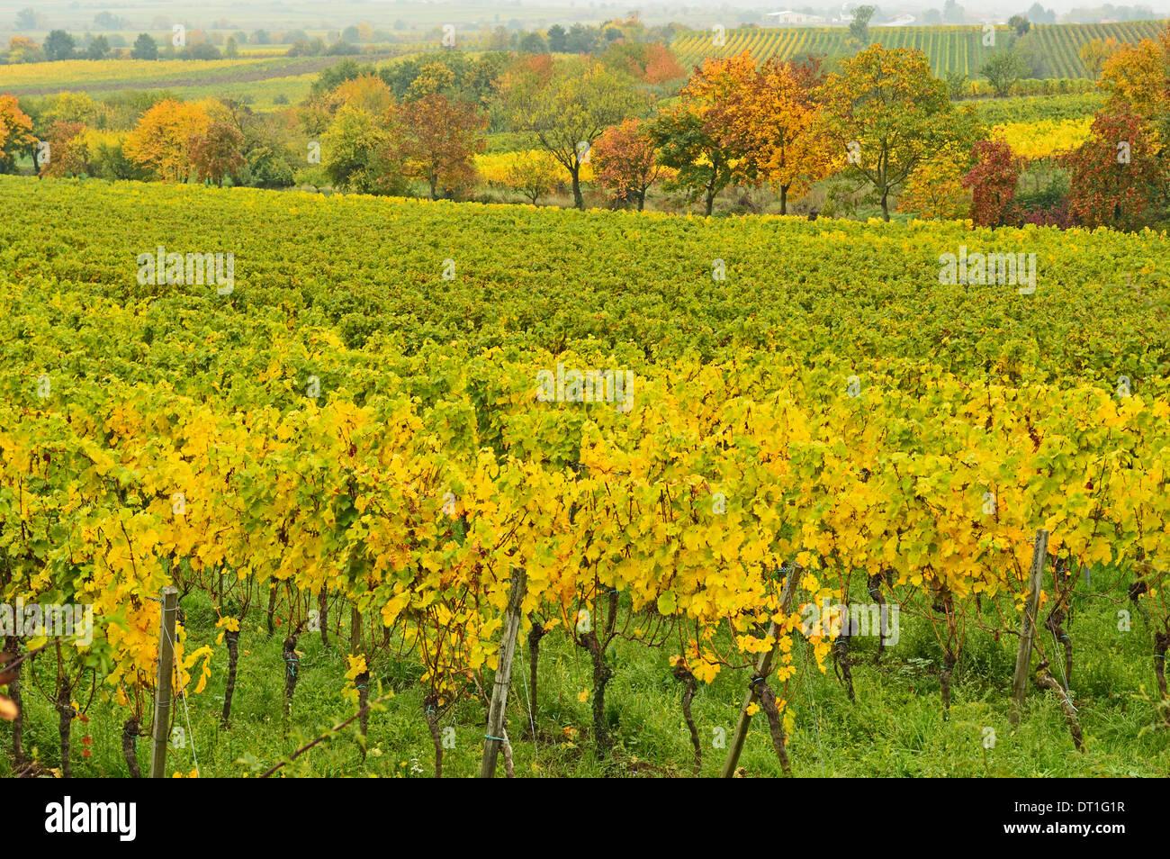 Vineyard landscape, near Neustadt, German Wine Route, Rhineland-Palatinate, Germany, Europe Stock Photo