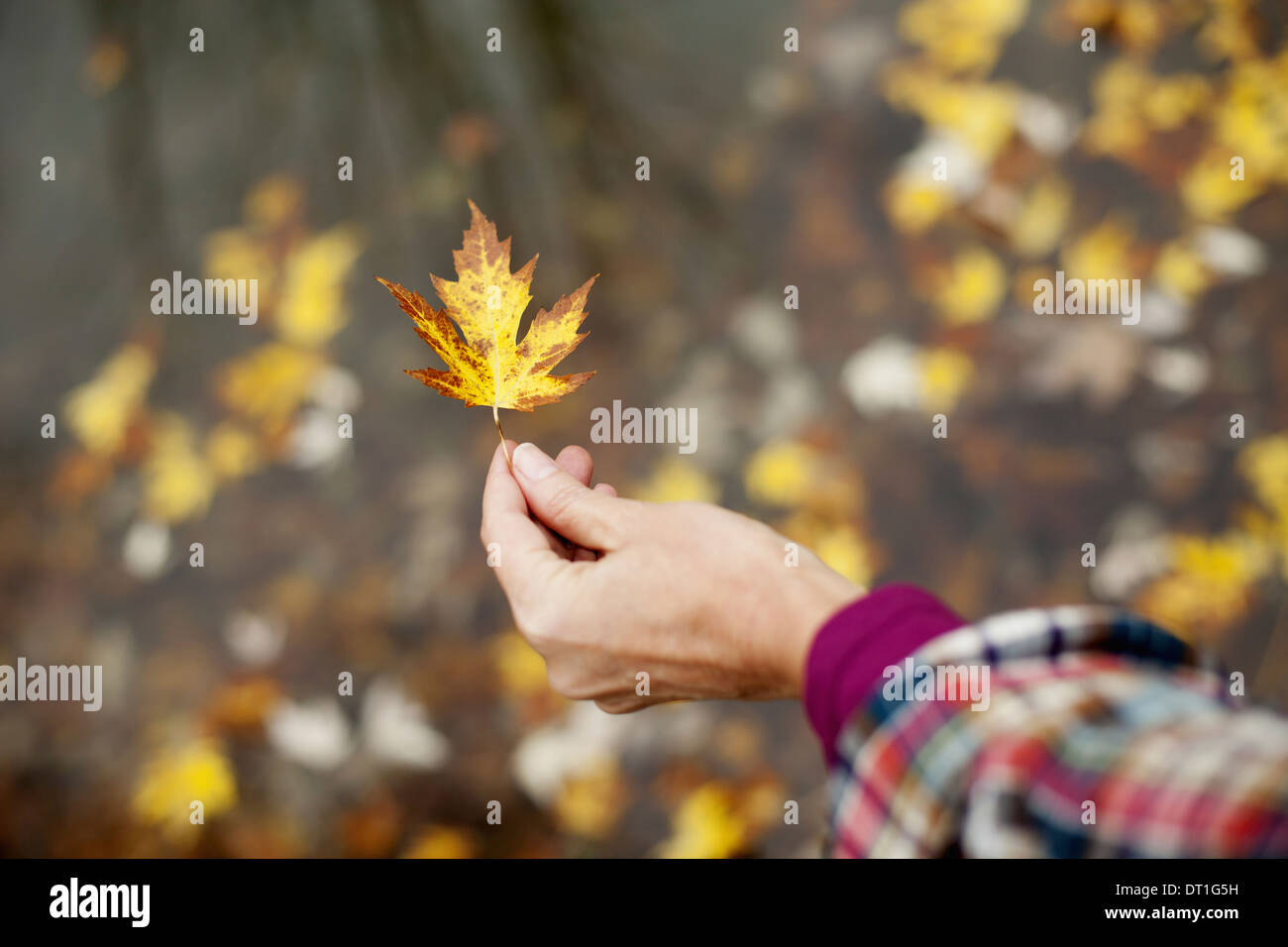 A woman holding out an autumn leaf A maple leaf turning brown - Stock Image