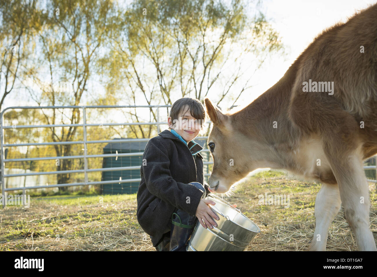 A young boy feeding a calf by bucket in a paddock at an sanctuary - Stock Image