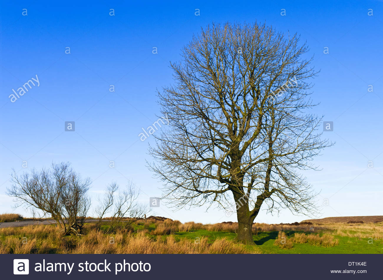 Ash tree in winter, Monmouthshire, Wales, UK - Stock Image