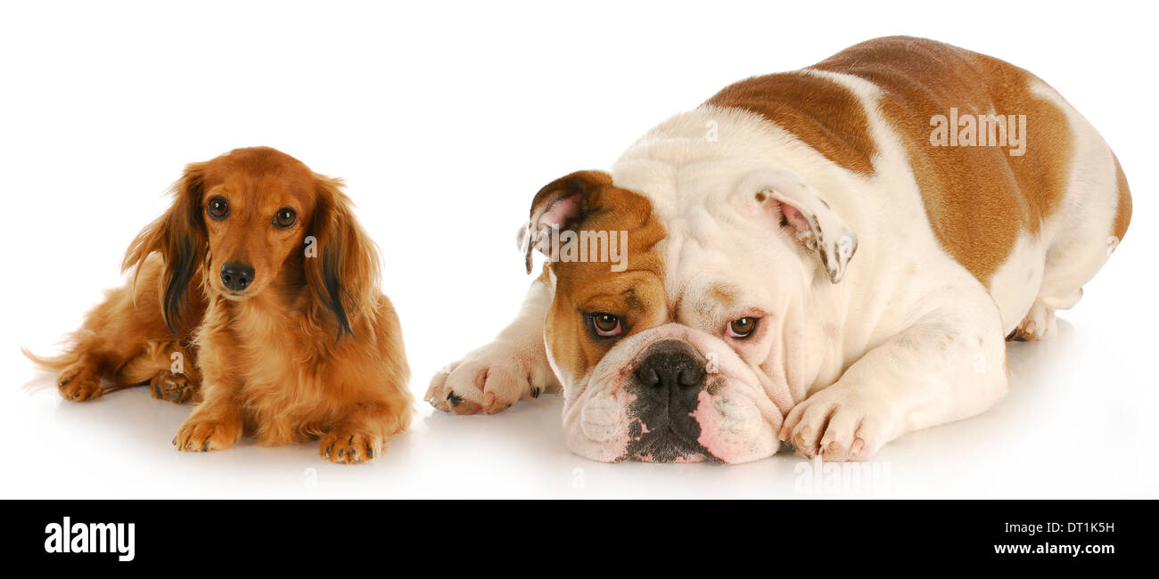 miniature dachshund and english bulldog laying down looking
