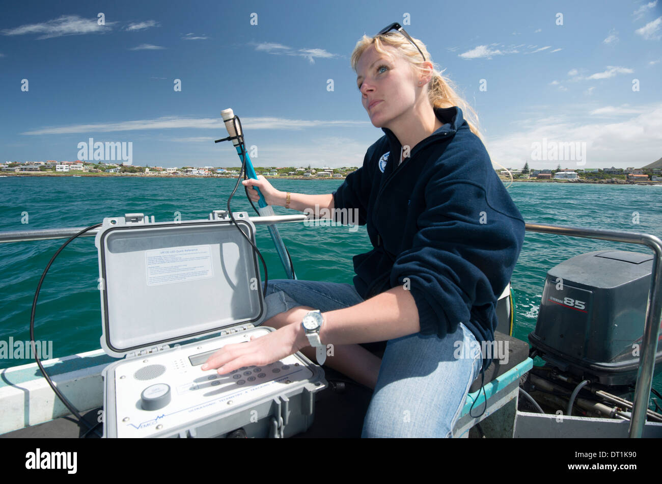 Scientist uses hydrophone to track tagged great white shark behaviour, Gaansbaai, Western Cape, South Africa Stock Photo
