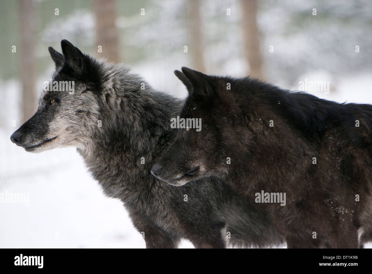 Two black melanistic variants of North American Timber wolf (Canis Lupus) in snow, Austria, Europe - Stock Image
